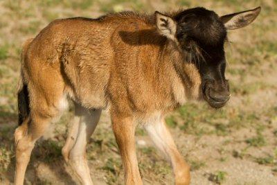 2013-03-14..Wildebeests.jpg