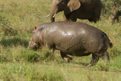 2013-03-15 - Tanzania - 3 - Serengeti - (227) - Hippopotamus