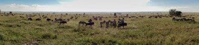 2013-03-16 - Tanzania - Serengeti - 1 - AM Safari Drive - (31) - Zebras