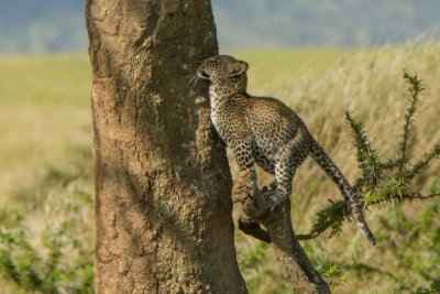 2013-03-16 - Tanzania - Serengeti - 1 - AM Safari Drive - (123) - Leopards