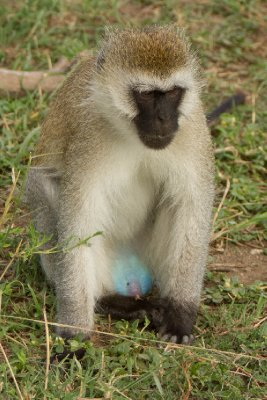 2013-03-16 - Tanzania - Serengeti - 3 - PM Safari Drive - (12) - Vervet Monkeys