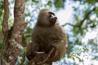 2013-03-12 - Tanzania - 3 - Ngorongoro Park - (4) - Baboons