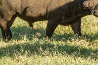 2013-03-13 - Tanzania - 1 - Ngorongoro Crater - (63) - Cape Buffalos