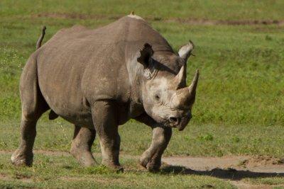 2013-03-13 - Tanzania - 1 - Ngorongoro Crater - (120) - Black Rhinoceros