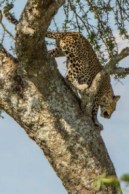 2013-03-15 - Tanzania - 3 - Serengeti - (147) - Leopard