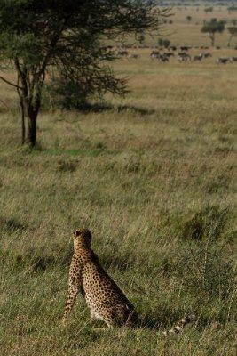 2013-03-17 - Tanzania - 1 - Serengeti - (58) - Cheetah