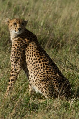 2013-03-17 - Tanzania - 1 - Serengeti - (65) - Cheetah