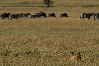 2013-03-17 - Tanzania - 1 - Serengeti - (106) - Cheetah