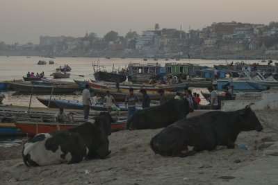 Cows Along the Ganges