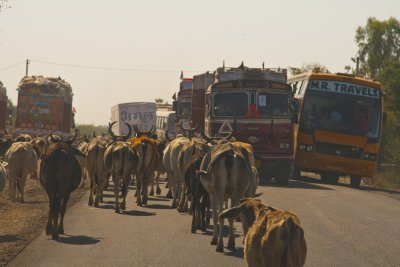 Cows and Buses