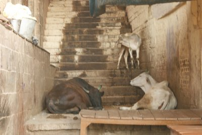 Cows in Stairwell