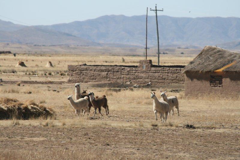 Galloping Llamas
