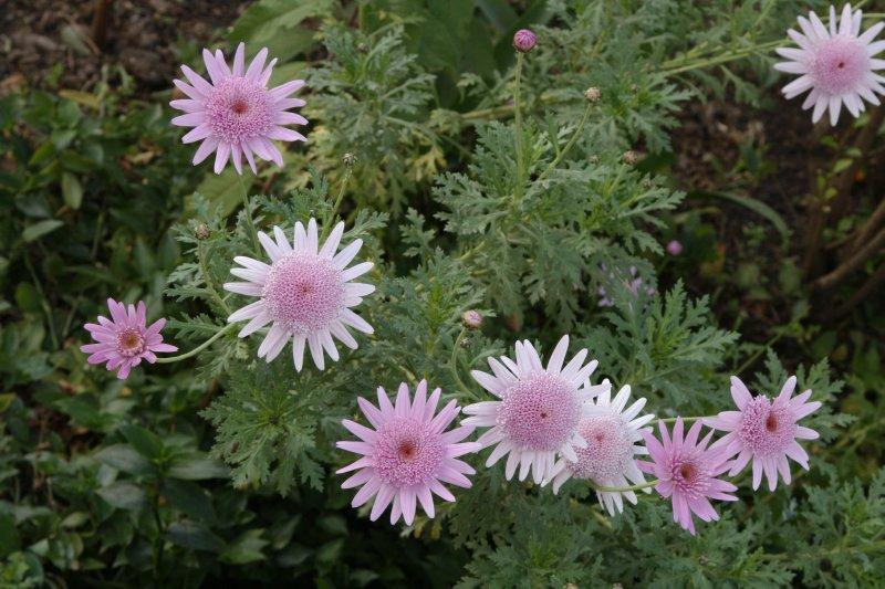 Pink Flowers in the Qorikancha Gardens