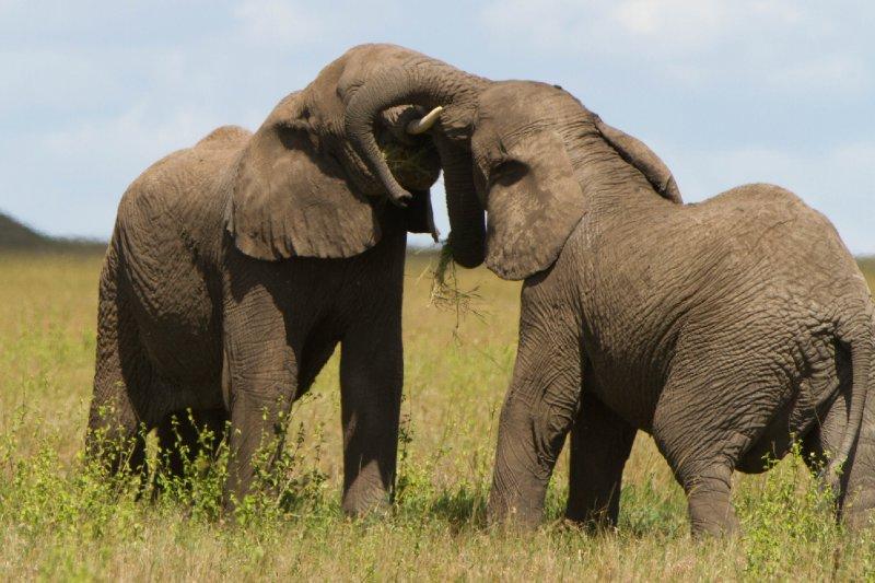 large_2013-03-15..-_Elephants.jpg