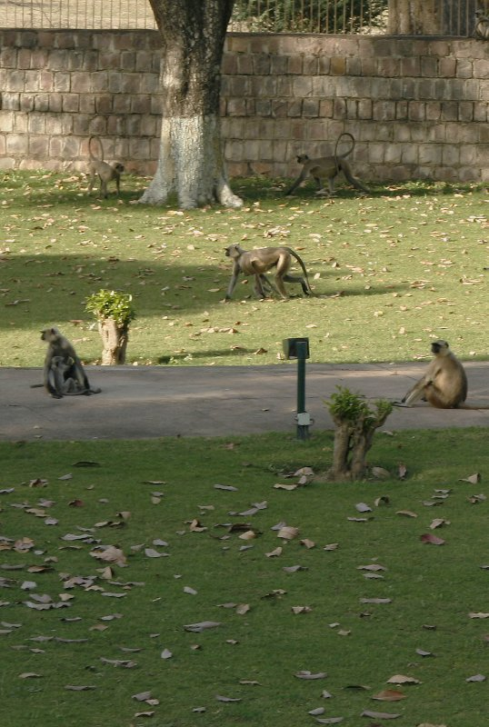 Langurs at Khajuraho