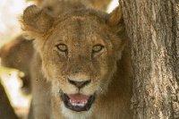2013-03-16 - Tanzania - Serengeti - 1 - AM Safari Drive - (342) - Lions