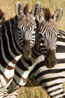 2013-03-16 - Tanzania - Serengeti - 1 - AM Safari Drive - (18) - Zebras