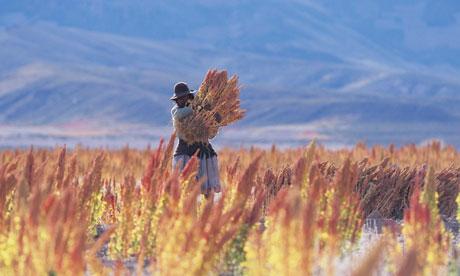 large_Quinoa-har..Bolivia-008.jpg