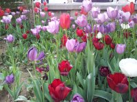 The tulip is the national flower of Turkey.