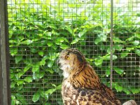 Artu - the Great Horned Owl.
