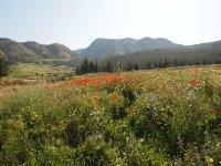 Field of poppies in Hierapolis - Turkey.