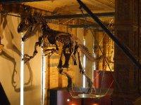 Dinosaur skeleton - in the Pre-historic Exhibition.