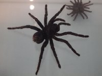Tarantula - in the Spiders and Insects Exhibition.
