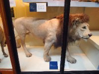 Taxidermy - lion at the Natural History Museum - London.