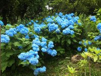 Have never seen Hydrangeas this blue!