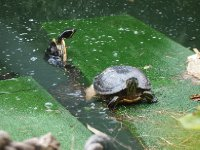 Turtles in one of the ponds in the gardens. The one on the left was trying to make his way up on to the mat - he failed!