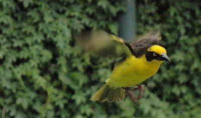 Yellow Bird at Eldoret Club