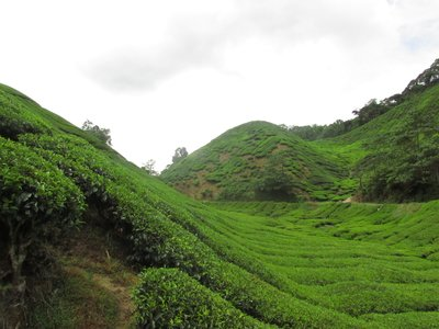 Tea Plantations, Cameron Highlands, Malaysia