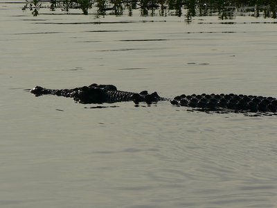 more_crocs.jpg