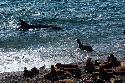Marine fauna at Puerto Piramides, Valdes Peninsula, Patagonia Argentina