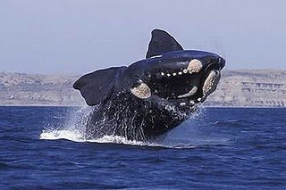 right-whale-038.jpg