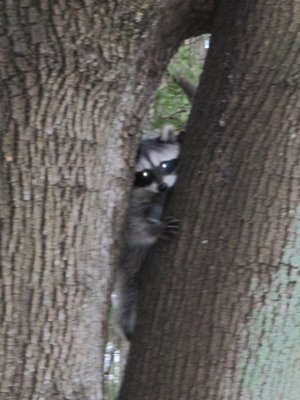 Racoon hides from us in Stanley Park