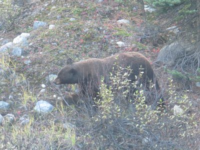 Bear by the roadside