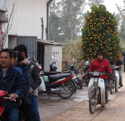 4 on a motorbike and a kumquat tree on another
