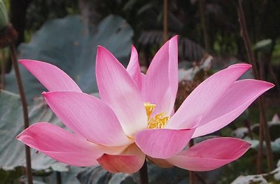 the first of this year&#39;s lotus flowers, Mekong