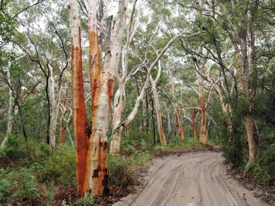 Fraser_rusty_trees_2.jpg