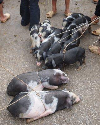 Piglets, Meo Vac market