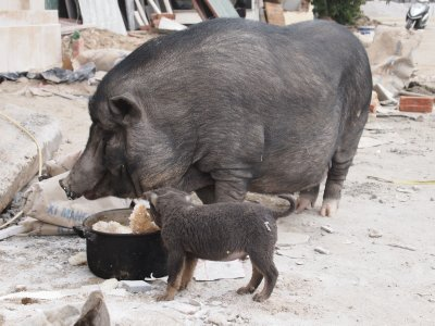 Pig and puppy for Tet?