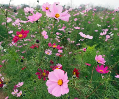 Cosmos (?) - look like them anyway..