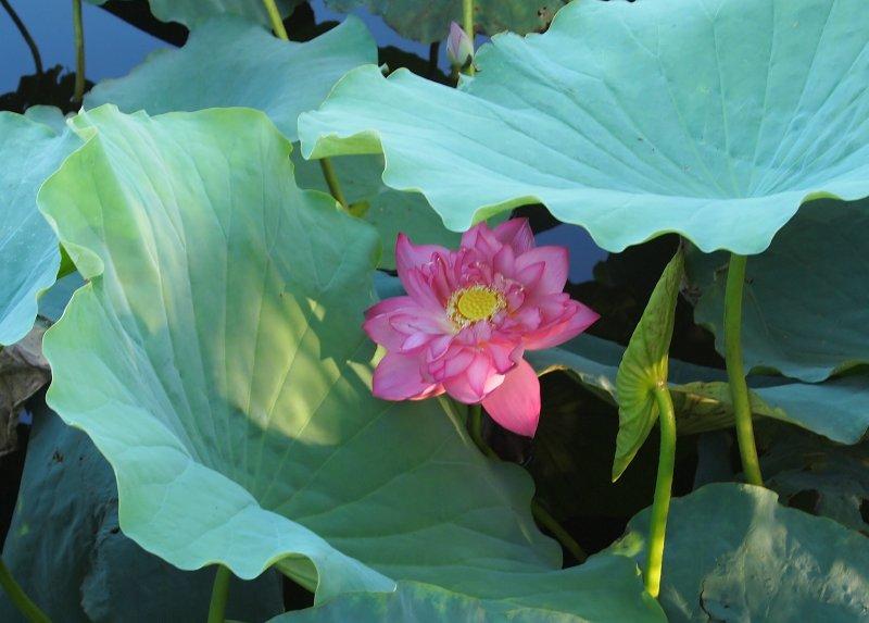 Lotus, West Lake
