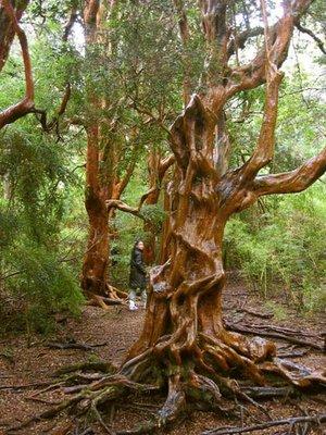 arrayan (myrtle tree)