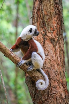 Curly Tailed Coquerel's Sifaka