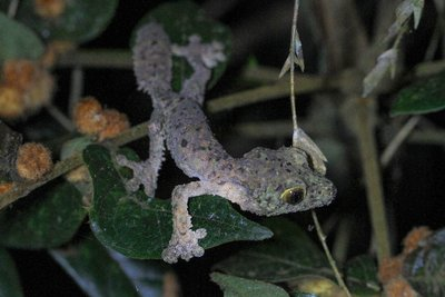 Leaf Tailed Gecko at night!