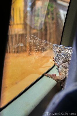 Chameleon in the Car!