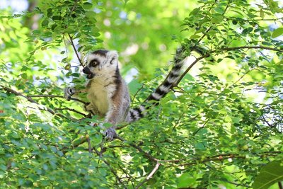 Baby Ring-Tailed Lemur