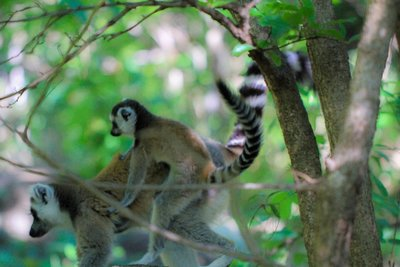 Mom and Baby Ring-Tailed Lemurs